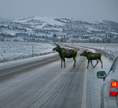 Moose Cow and calf crossing snowy road (GrandTetonNPS) Tags: grandteton nationalpark