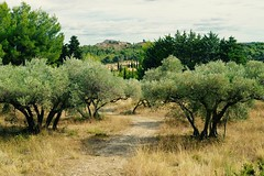 Provence (iTechnology13200) Tags: provence alpilles sud france tousirm olivier olives