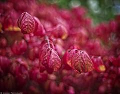 From A Sea Of Red (mjardeen) Tags: yashica5014yashinon yashica 50 14 yashinon m42 standard bokeh dof depthoffield plant tree leaves red fall turning autumn tacoma wa washington sony a7ii a7m2