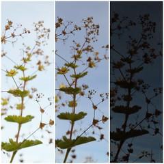 bracketing collage (tiffanygall1) Tags: plantlife bracketing