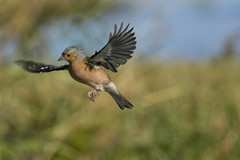 Chaffinch flight (Margaret S.S) Tags: chaffinch inflight european male hovering