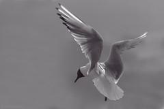 Tern (Kike K.) Tags: sea seagull tern gull animal bird fauna amateur switzerland rapperswil monochrome outdoor fly flight wings bw beak black feathers sky light sunlight sun water lake zurich clouds eye canon70200f4l bif