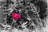 Red Rose 29.09.2012