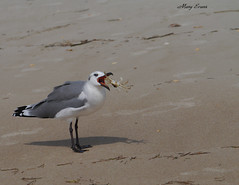 Dinner Time-Fresh catch of the day (snoopydoobiedog~) Tags: sea beach dinner coast sand florida wildlife gull crab forgotten dining floridas gulfcoast carrabelle panasonicg3 dailynaturetnc12