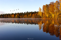 The Leaving (just.like.that.) Tags: blue autumn red wild sky orange lake cold fall nature water leaves birds yellow forest reflections season landscape geese still woods october sweden seasonal flock relaxing calm smland swans romantic colored chilly serene sverige wilderness pastoral idyllic