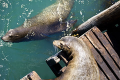 Finders, Keepers (Chase Hoffman) Tags: california summer color animal fauna docks canon eos dock wildlife telephoto sealions sealion avila avilabeach canonef70200mmf4lusm chasehoffman canoneos5dmarkii 5dmarkii 5dmkii chasehoffmanphotography