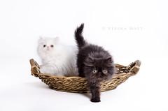 Persian Cats (SteinaMatt) Tags: cats white black animal animals cat matt studio persian nikon 28 nikkor kisa köttur kisur 1755 steinunn dýr kettir steina d7000 matthíasdóttir