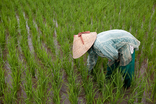 A farmer planting rice in Aceh, Indonesia. Photo by Mike Lusmore/Duckrabbit, 2012.