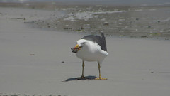 A Pacific Gull feeds on a crab at Lipson Cove beach (danimations) Tags: bird feeding crab pacificgull lipsoncove