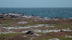 Black-faced cormorants roost on Lipson Island (danimations) Tags: birds cormorant roosting blackfacedcormorant lipsoncove lipsonisland