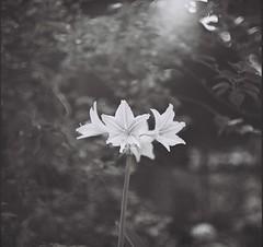 花 (Ifitis) Tags: light blackandwhite white black flower 120 film leaves vintage mediumformat asia southeastasia bokeh tl malaysia medium pentacon six ilford p6 pentaconsix czj