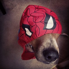 Who's the cutest spiderman this Halloween? This guy. (Megan_Hunter) Tags: blue dog pet baby man cute guy beagle halloween apple angel giant puppy square macintosh nose photography this spider costume big mutt mix eyes mac october phone 5 spiderman adorable elvis megan whiskers precious squareformat whisker spidey sutro hunter dogface pup too cutest petsmart mydog whos heeler puppydog iphone toobig blueheeler presh beaglemix babypuppy ebaby iphone5 blueheelermix beaglex adorbs blueheelerx iphoneography meganhunterphotography meganhunter instagramapp uploaded:by=instagram petstagram