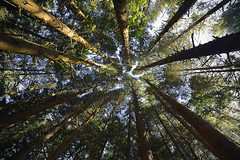 SUNSCREEN (DESPITE STRAIGHT LINES) Tags: wood trees usa tree nature leaves oregon america forest leaf high woods woodlands nikon foliage canopy mothernature height sanddunes oregonstate sunscreen talltrees oddfellowspark d700 nikond700 nikkor1424mm oregoncoastalhighway joaquinmillerstatepark ilobsterit