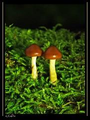 The Twins - Fungus #3 (Lutz Koch) Tags: mushroom forest moss woods hessen pentax fungi fungus pilze wald taunus moos hongo pilz idstein k7 waldboden gomba idsteinerland erdö elkaypics