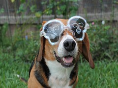 Lexie in Halloween glasses 2012 (32) (THE Halloween Queen) Tags: dog cute beagle halloween glasses funny petcostume
