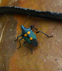 Shieldbug.  (Euthyrhynchus floridanus)  Florida Predatory Stink Bug (gailhampshire) Tags: costa bug florida insects rica stink shieldbug predatory euthyrhynchus floridanus taxonomy:binomial=euthyrhynchusfloridanus