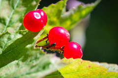 Mighty Big Snack (Cuppojoe) Tags: berry berries bc walk britishcolumbia ant trails hike bb bedandbreakfast windermere