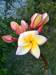 The St. Regis Bora Bora Resort - Frangipani Forever (Super Starfish) Tags: pink plant flower yellow hotel plumeria resort southpacific frangipani vegetation borabora stregis frenchpolynesia starwood stregisborabora