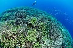Acropora reef (Felipe Barrio) Tags: coral underwater wildlife reef papuanewguinea oro coralreef acropora alotau milnebay