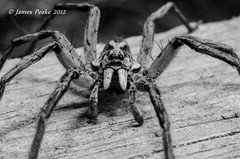 Wolf Spider. (JimsWalks) Tags: backyard wolfspider nikon60mm kenko14xtc jamespeake jimonearth