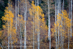 Teton Fall (Hank Christensen) Tags: trees usa nature forest landscape outside nationalpark unitedstates natural outdoor fallcolors stock northamerica wyoming grandtetons aspen wy grandtetonnationalpark grandtetonsnationalpark