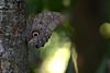 Owl butterfly (ggallice) Tags: amigos peru rain forest butterfly de los amazon rainforest selva owl madre dios caligo nymphalidae eyespot cicra