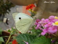 Welcome white Butterflies to the my balcony.Izmit.Turkiye. (3D Anaglyph.Turkiye) Tags: white 3d butterflies anaglyphwelcome balconyizmitturkiye me2youphotographylevel1