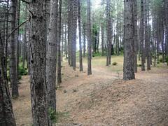 Nova Varos 021 (jecadim) Tags: summer tree nature forest serbia leto srbija drvo uma zlatar novavaros