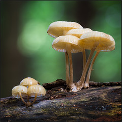 Mushroom Season (beppeverge) Tags: autumn fall closeup forest season mushrooms natura fav20 fungi fungus funghi autunno bosco valsesia sottobosco fav10 funghimushroomsbalangerabosco