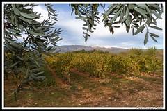Oliviers Vignes et Ventoux aux couleurs d'automne (Photo-Provence-Passion) Tags: france automne canon eos paca 7d provence paysage mont vigne olivier 1022 vaucluse ventoux