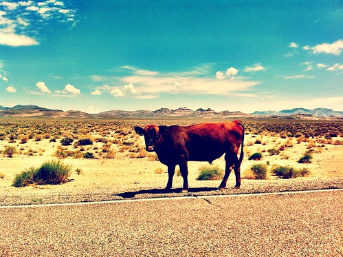 "Cow in Nevada • <a style=""font-size:0.8em;"" href=""http://www.flickr.com/photos/20810644@N05/8142887880/"" target=""_blank"">View on Flickr</a>"