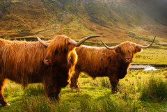 "Highland Cows • <a style=""font-size:0.8em;"" href=""https://www.flickr.com/photos/21540187@N07/8145329467/"" target=""_blank"">View on Flickr</a>"