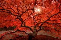 Red Lace (Dan Mihai) Tags: autumn red tree fall nature colors leaves garden landscape japanese star japanesegarden landscapes washington leaf moss maple lace fallcolors branches rusty autumncolors foliage japanesemaple bonsai trunk gnarly sunburst tacoma washingtonstate twisted hdr gnarled sunstar contorted pointdefiance pointdefiancepark photomatix redlace redlaceleafjapanesemaple laceleafjapanesemaple