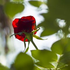 Parlami d'amore (Antonela's Images) Tags: verde rose rosso osa rouje rosu antonela trandafir floare antobanto antobantophotostream antonelaimages antonelaphotography wwwantonelastanciulescucom