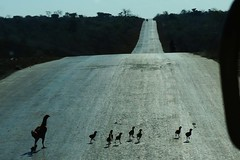 - (ben ot) Tags: road silhouette route chicks poule hen madagascar poussins rn7