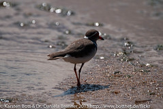"Three Banded Plover • <a style=""font-size:0.8em;"" href=""http://www.flickr.com/photos/56545707@N05/8365039870/"" target=""_blank"">View on Flickr</a>"
