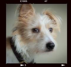 Gaze (christilou1) Tags: dog brown square jack eyes russell olympus jr 18 75mm em5