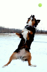 Jilly! (NetAgra) Tags: winter dog jump nikon catch tamron australianshepard cannine flickraward
