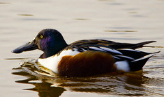 Cullerot / Northern Shoveler (SBA73) Tags: male bird animal duck au beak catalonia ave pico pato catalunya pajaro bec anas northernshoveler llobregat anasclypeata aiguamolls ocell parcnatural anec shoveller deltadelllobregat maresma mascle lesfilipines aneccullerot