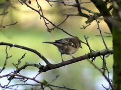 Female Chaffinch (Rovers number 9) Tags: winter england cold tree nature birds minolta bokeh wildlife sony january lancashire a65 2013 euxton minoltaaf100200f45 bkhq sonya65 jan2013