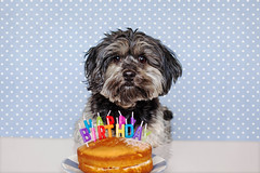 1/12 - Happy Birthday Teddy.*Explore* (Kirstyxo) Tags: dog cute cake candles teddy birthdaycake happybirthday 112 dogbirthday 12monthsfordogs13 12monthsfordog13