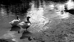 (JessieMartinin) Tags: bw white lake nature water animals duck back nikon pb inspire d3100 nikond3100