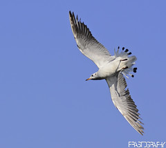 Brown-headed Gull, Chroicocephalus brunnicephalus (prasanth2406) Tags: color nature water photography nikon colorfull wildlife gull national catch nikkor dslr common chennai nationalgeographic prasanth brownheaded nikor nikondslr brownheadedgull larusbrunnicephalus chennaibirds chroicocephalus chroicocephalusbrunnicephalus brunnicephalus d3100 prastography
