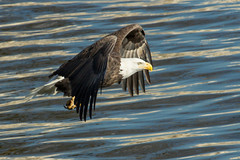 Warp Speed! (w4nd3rl0st (InspiredinDesMoines)) Tags: travel winter nature canon flying fishing midwest adult eagle outdoor wildlife flight baldeagle iowa 7d mississippiriver juvenile bettendorf 100400l armycorpsofengineers leclaire 2013