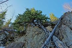 Tree on Cliff (MIKOFOX  Thanks for Visiting!) Tags: tree spring rocks yukon april spruce xt1 fujifilmxt1 xf18135mmf3556rlmoiswr firekilled screwtheautotagbot