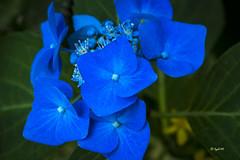 simply blue (hph46) Tags: blte blume blau hortensie hydrangea sony alpha7r