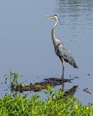 Blue on Blue (brev99) Tags: greatblueheron pond tamron70300vc d7100 perfecteffects10 ononesoftware saturatedslidefilmeffect photoshopelements12 bird ngc highqualityanimals