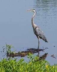 Blue on Blue (brev99) Tags: greatblueheron pond tamron70300vc d7100 perfecteffects10 ononesoftware saturatedslidefilmeffect photoshopelements12 bird ngc highqualityanimals