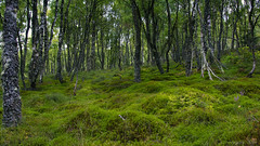 there is forest magic everywhere (lunaryuna) Tags: scotland cairngorms davawalk forest woods birchtrees summer season seasonalbeauty lushgreens lightmood lunaryuna
