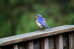 Eastern Bluebird - Post-bath (LastNitesFun) Tags: ivyvirginia july2016 summer birds bluebird easternbluebird
